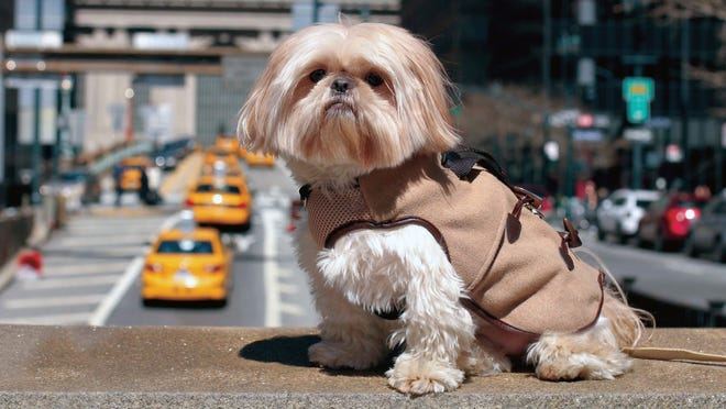 This April, 2014 photo from Karine Ng, the founder, owner and designer at Central Park Pups, shows Chewie, a 3-year-old Shih Tzu, in one of her dog fashion creations known as Hidden Harnesses, the Park Ave Peacoat, in New York. For some pet owners, clothing plays into a luxury lifestyle. For others, it's a way to match man's best friend; and sometimes it's simply about keeping animals warm this winter. (AP Photo/Karine Ng)