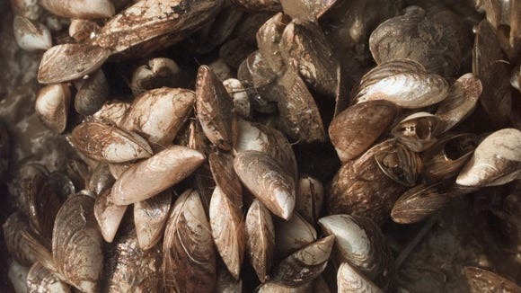 This bunch of quagga mussels was collected in about 60 feet of water, less that 2 miles out into Lake Ontario. The quagga is the dominant mussel in the lake and that includes its cousin the zebra mussel. (1999 photograph)
