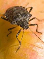 The brown marmorated stink bug feeds on corn, soybeans, apples, grapes, berries, peaches and even ornamental trees.