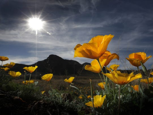 The poppies on the Franklin Mountains stretch toward