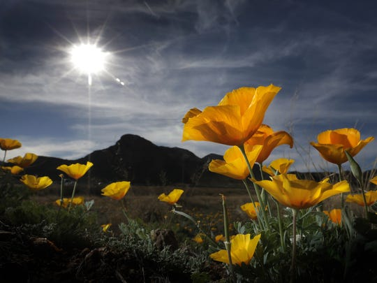 The poppies on the Franklin Mountains stretch toward the sun Monday afternoon in northeast El Paso. The poppies are having a strong showing this spring due to higher-than-normal moisture this winter.