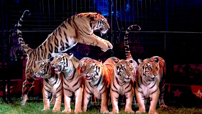 A new Baraboo circus act involves trained Bengal and Siberian tigers.