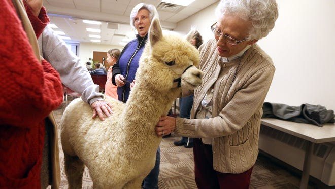 Mary Ann  Lisa of Parsippany meets a 7-month-old alpaca named 'Hamish.' Joy and Colin Scott of Highland Alpaca Ranch brought their alpaca to the Parsippany Public Library who hosted 'Live from NJ: Alpacas!' for an adults-only program. January 6, 2017, Parsippany, NJ.