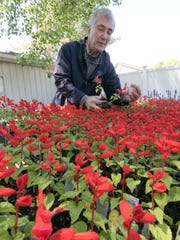 Cannon Creek owner Dick Grant looks through pots of tall red Salvia, a plant that deer will not eat.