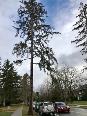 "Some of the Norway spruce trees along Kimberly Avenue have begun to look sickly. In Asheville, they're at the edge of their ""hardiness zone"" the area in which they can thrive."