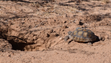A 9-year-old desert tortoise - tagged 2-4 - was released