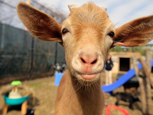 Colby, a 4-month-old African pygmy goat, is very curious