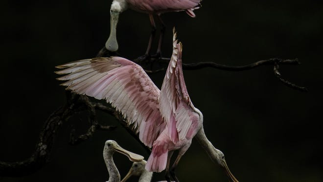Roseate spoonbill photo by Bill Anderson.