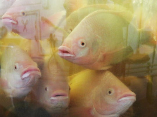 Tilapia peer at the photographer in a fish tank at