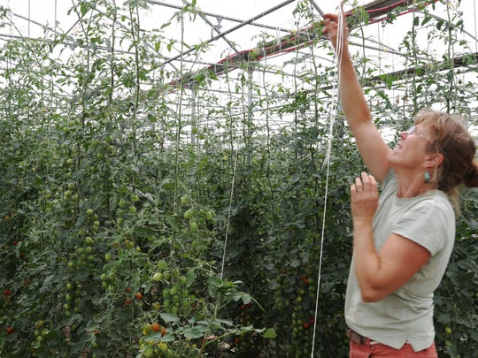 Bernadette Seely Springdale Farm checks over tomato
