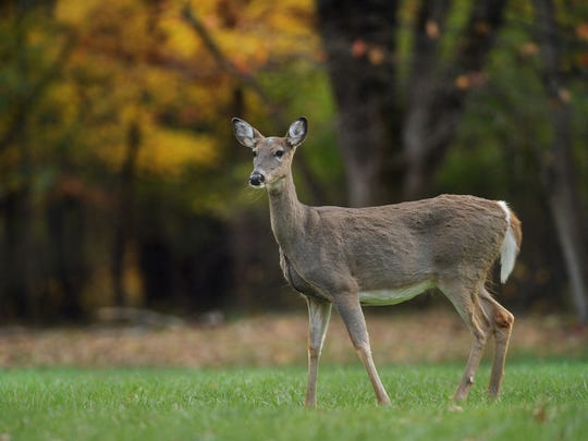 The Indy Parks board on Thursday approved a plan to allow the first deer hunt at the park to cull a growing herd. Both culls could be held from October to January.
