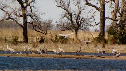 Cranes prefer open water to feed. Removing invasive canary reedgrass opens the waters for native plants and migratory birds like these in southern Nebraska.
