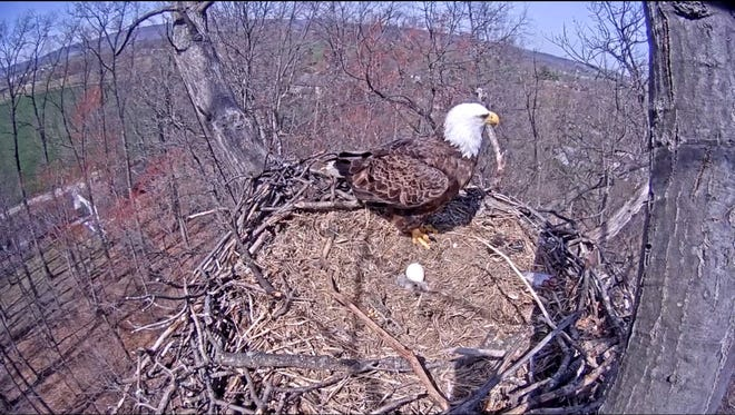 It appears the eaglet that hatched Monday, March 28, 2016, has died. (Courtesy of Pa. Game Commission)