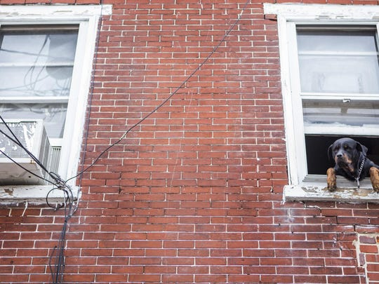 A four year-old Rottweiler hangs out the window of a row house in Wilmington's West Center City neighborhood on Tuesday afternoon.