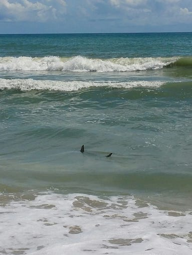 Sharks swim in water off Paradise Beach on Aug. 2.