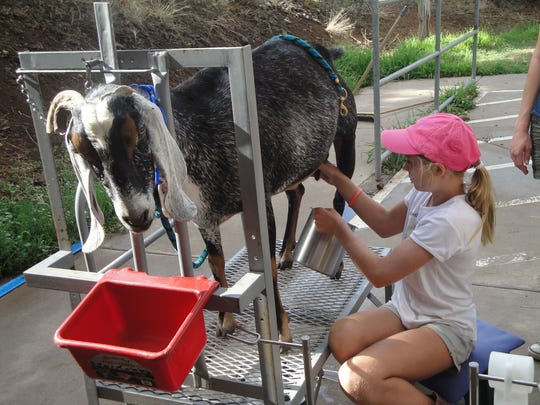 Children who want to hand-milk a goat should arrive at the ranch by 4 p.m.