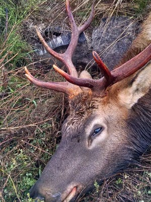 This bull elk was killed and left to waste in Tillamook County on Oct. 23.