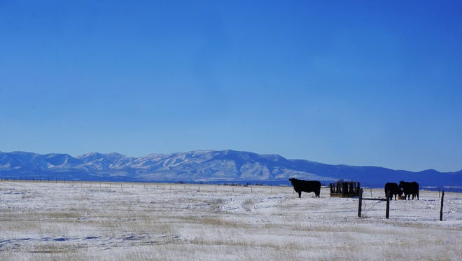 Cattle in the snow.