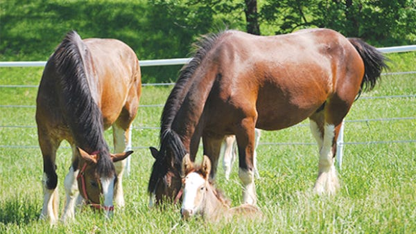 Warm Springs Ranch is a breeding farm for the Budweiser Clydesdales, resting on 300-plus acres of lush, rolling hills in the heart of Missouri.