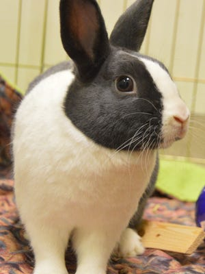 Pixie is a 1-year-old Dutch Purebred rabbit.