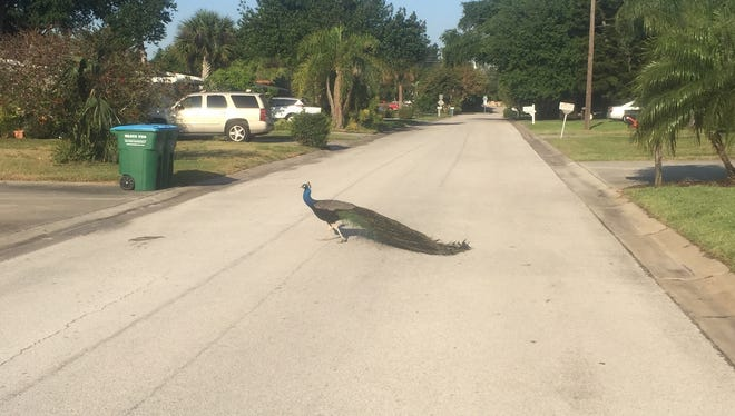 That's me in the shadow, stopping my run to snap a photo of this peacock crossing in front of me.