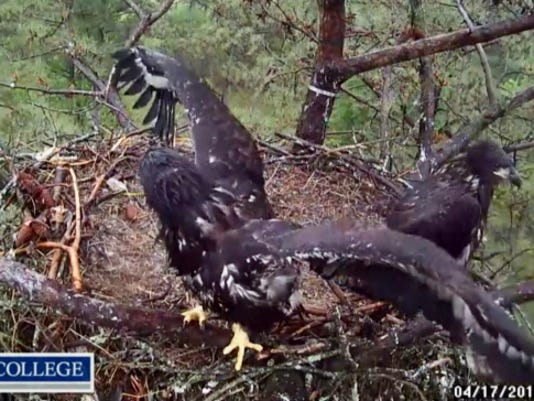 Two 9-week-old eaglets stretch their wings in April at a nest in Mount Berry, Georgia. The birds fledged in May.