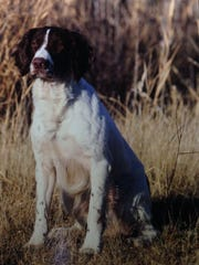 """Majestics War Dance, with the call name """"Rowdy,"""" qualified for the English Springer Spaniel National Open Championship in 2012 after being trained by A.J. Chicola."""