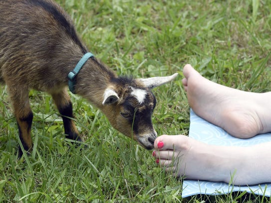 A Pygmy goats investigates a toe during goat yoga at