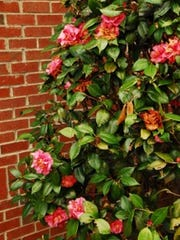 """Shown is a beautiful spring Camellia among many other amazing species to see."""
