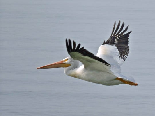 Pelicans in flight have a distinctive black trim on their wings.
