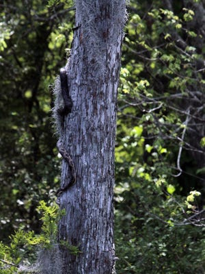 A large snake slithers down the side of a tree.