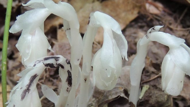 One of our most unusual wildflowers, Indian Pipe emerges in ghostly white during August.