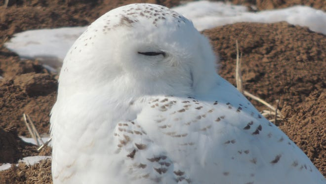 A snowy owl similar to the one pictured was shot and killed at Wittman Regional Airport Tuesday.