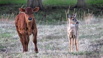 A Jersey cow, left, and fawn stand in the pasture near Frans Bernardo's home in Williamson County. The cow has been nursing the fawn for the past six months.
