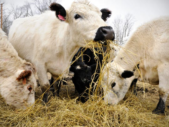 British White cattle eat at Rolling Hills Traeger Ranch