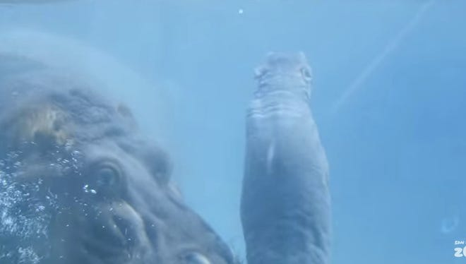 The San Diego shows a recently born hippo and mother Funani.