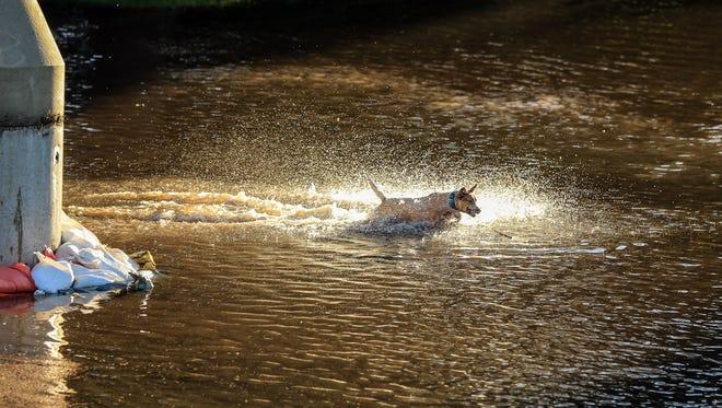 Nahla, 2, plays fetch in the flood waters near the Cedar River in Cedar Rapids Monday, Sept. 26, 2016.