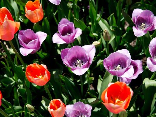 636607684548098627-tulips6.jpg