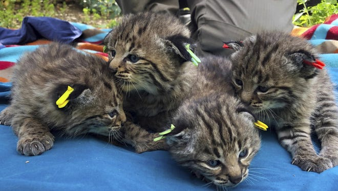 Four kittens were born to a young bobcat captured, collared and released a day before a massive, deadly wildfire, in a large residential backyard in Thousand Oaks, Calif.