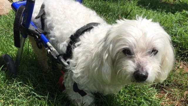 Cannoli, a Maltese with disabled hind legs, uses a special wheelchair to get around.