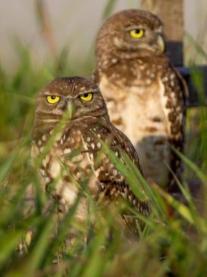 Pair of adult burrowing owls