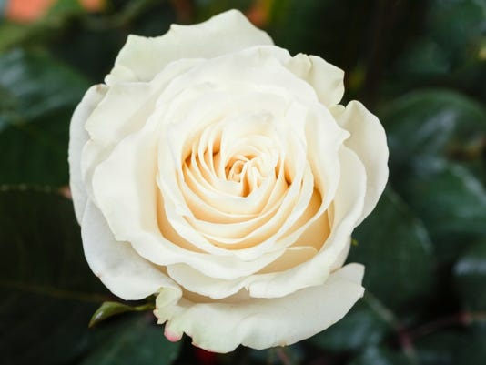 ITH white rose getty