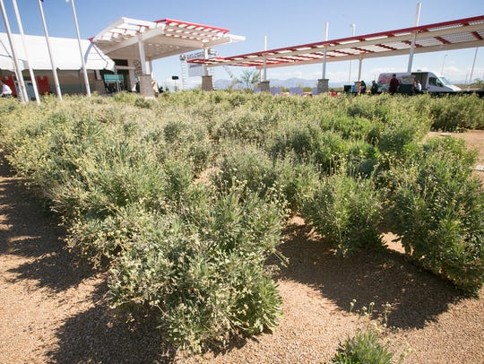 Guayule bushes at the Bridgestone guayule research
