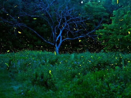 huge summer for fireflies means backyard fireworks for us frenzied