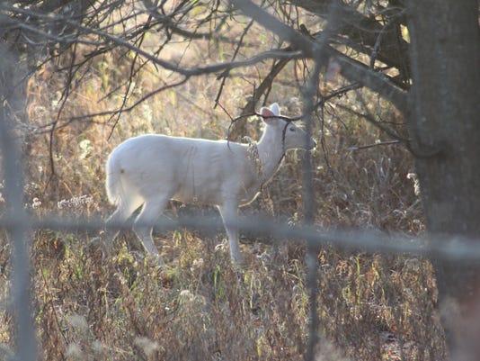 MNHBrd-11-29-2013-NewsHerald-1-A003-2013-11-27-IMG-Albino-deer-1-1-2V5P7DD9-L324659457-IMG-Albino-deer-1-1-2V5P7DD9.jpg