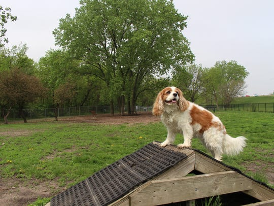 A Cavalier King Charles Spaniel scales the agility