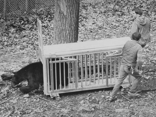Staff members move Boo the black bear into his newly constructed bear habitat at the WNC Nature Center in 1984.
