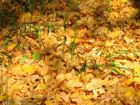 Gold leaves create a soft carpet along the Rio Ruidoso