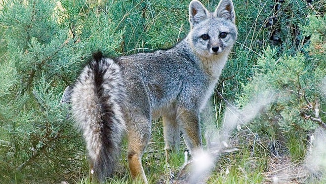 Melissa Cavaretta, a Las Cruces veterinarian and current graduate student in NMSU's Department of Fish, Wildlife, and Conservation Ecology, and her advisor, associate professor Gary Roemer, have initiated a research project that aims to assess and compare the health of gray foxes in Las Cruces and surrounding areas.