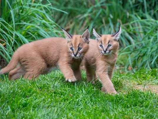 caracal kittens exploring outdoor space at oregon zoo